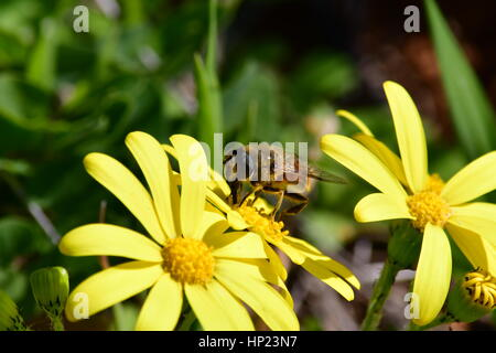 Nafplio, Greece, 17th February 2017.A bee collects pollen from flower to Nafplio. - Stock Photo