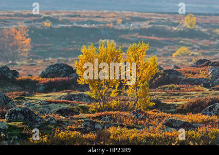 European white birches / downy birch / moor birch (Betula pubescens / Betula alba) on the tundra in autumn, Rondane - Stock Photo