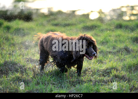 Brown cocker spaniel shaking off water in the sun - Stock Photo