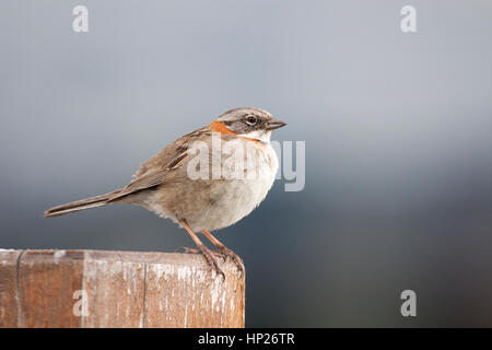 Rufous-collared Sparrow (Zonotrichia capensis australis) at Lago Pehoe - Stock Photo