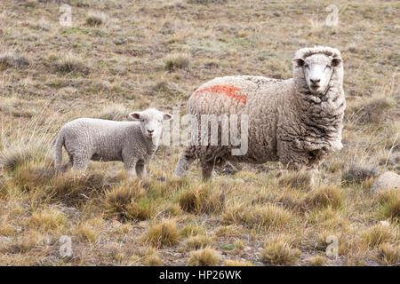 Corriedale sheep ewe and lamb - Stock Photo