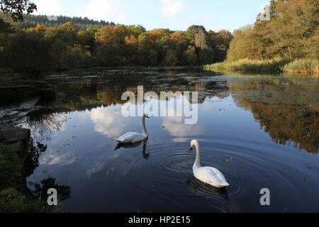 Mute swans on Cannop Ponds, Parkend, Forest of Dean, Gloucestershire, England - Stock Photo