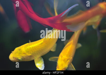 Colourful exotic fish in an ornamental garden fish pond - Stock Photo