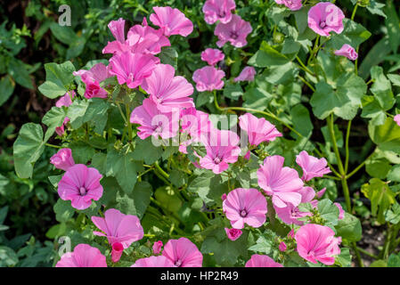 Pink mallow or malva flowers in the home garden - Stock Photo