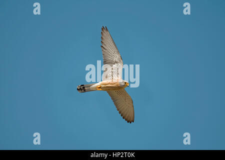 Lesser Kestrel - Falco naumanni - male - Stock Photo