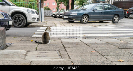 A cat is sitting in front of a pedestrian crossing - Stock Photo