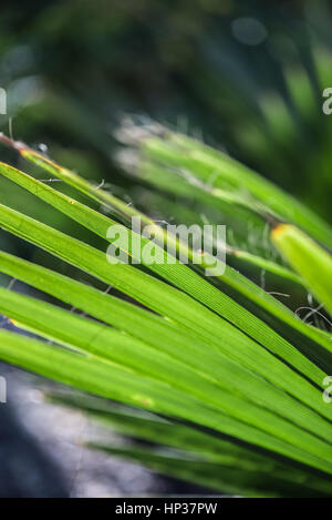 Spanish dagger yucca by macro view - Stock Photo