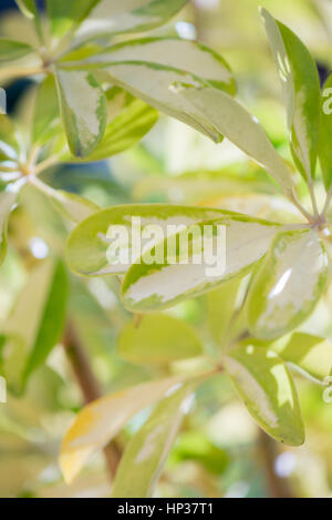 Spanish Schefflera green garden plant in macro view - Stock Photo