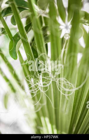 Spanish dagger yucca by macro view - Stock Photo