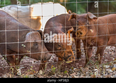 Red Duroc pigs in a pigsty, piglets in a pigpen - Stock Photo