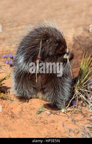 North American Porcupine, (Erethizon dorsatum), Monument Valley, Utah, USA, adult feeding - Stock Photo