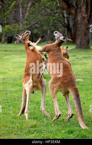 Red Kangaroo, (Macropus rufus), two adult males fighting, South Australia, Australlia - Stock Photo