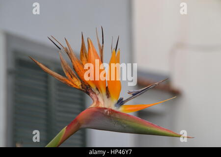 A close up shot of a beautiful blossom, flower bird of paradise at a house in  Capelas on Sao Miguel island on Azores - Stock Photo