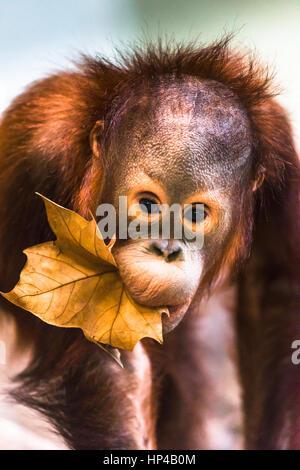 Cute baby orangutan playing. - Stock Photo