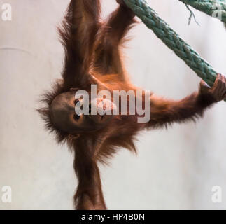 Cute baby orangutan playing. - Stock Photo