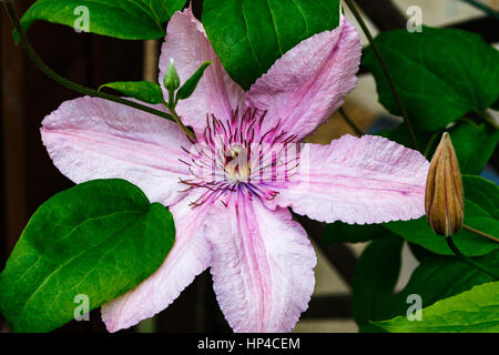 Flowers of Clematis in front of a blue sky trying to reach a sun, square. the camera pans through the bushes from - Stock Photo