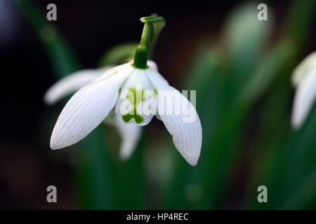 galanthus richard ayres, snowdrop, snowdrops, spring, flower, flowers, flowering, Huntingbrook gardens, Jimi Blake, - Stock Photo