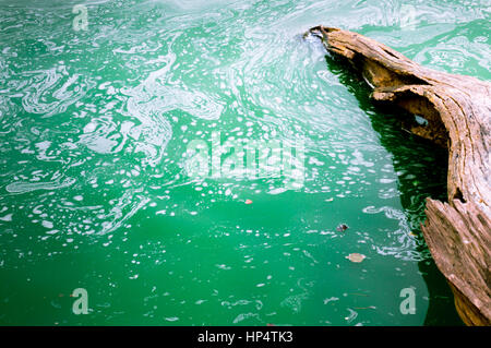 Green frothy polluted water with a dead tree floating in it. Shows the sad state of nature in India - Stock Photo