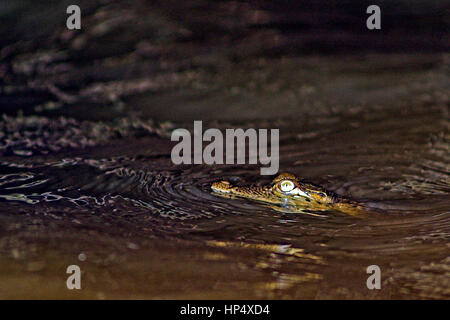 Estuarine crocodile or saltwater crocodile (Crocodylus porosus) swiming and resting at night - Stock Photo