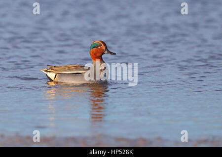 Adult drake Eurasian or Common Teal Anas crecca swimming on an estuary in winter in north Norfolk, UK - Stock Photo