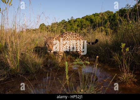 Jaguar exploring a grassland in the Cerrado - Stock Photo