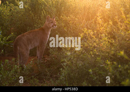 A large Puma cub from Central Brazil - Stock Photo