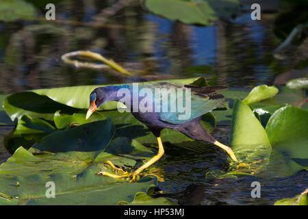New-World purple gallinule walking on leaves in Florida - Stock Photo