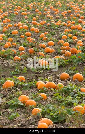 Ripe orange pumpkins growing in field, fens UK. Unsharpened - Stock Photo