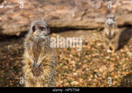 A pair of meerkats keeping an active eye in the distance for signs of danger on a farm near Liverpool. - Stock Photo