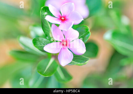 ludwigia adscendens or periwinkle flower in blur background - Stock Photo