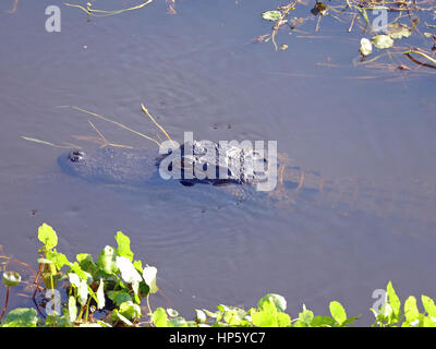 Young Alligator (A. mississippiensis except for Eyes and Snout, Paynes Prairie Preserve State Park, Gainesville, - Stock Photo
