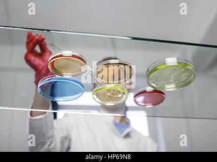Laborant mit Petrischalen (model-released) - Stock Photo