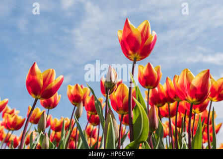 Red with yellow tulips are standing in a sunny field with a blue sky in de background. - Stock Photo