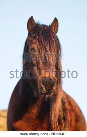 Portrait of a Dartmoor Pony - Stock Photo