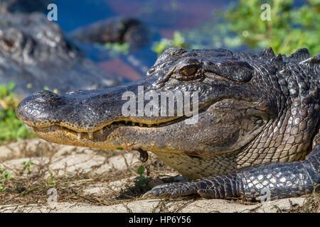 Smile of American alligator, close up - Stock Photo