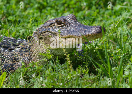 alligator in the green grass - Stock Photo