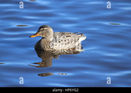 A female mallard duck swimming on a lake Stock Photo