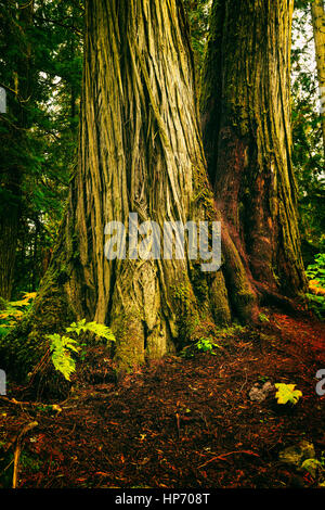 Canadian Old Growth Rain Forest, Mt Robson National Park, British Columbia, Canada - Stock Photo