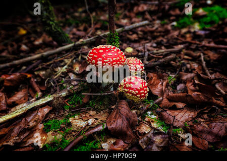 Amanita Mushroom In The Thuringian Forest, Germany