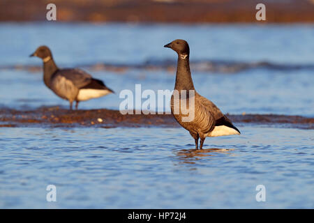 Adult dark-bellied Brent Goose Branta bernicla on a north Norfolk beach - Stock Photo