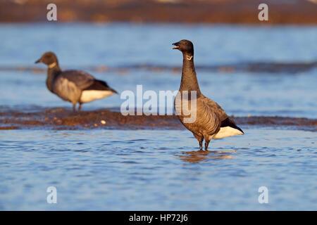 Adult dark-bellied Brent Goose Branta bernicla calling on the north Norfolk coast, England, UK - Stock Photo