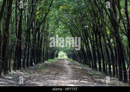 Para Rubber Tree Plantation 'Hevea brasiliensis' , giving a cathedral effect,  converging treeline & roadway, shade - Stock Photo