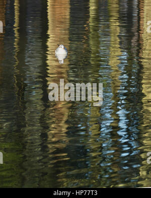 Black-headed gull on pattern formed by reflections of tree trunks on water - Stock Photo
