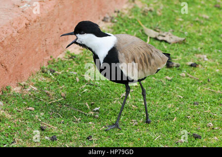 Spur-winged plover (or lapwing, Vanellus spinosus). This bird inhabits wetlands and coastal areas in northern Africa - Stock Photo