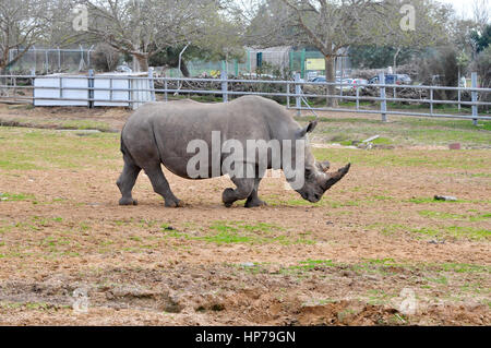 Close up of a Southern White Rhinoceros Ceratotherium simum - Stock Photo