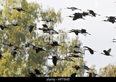 Glossy Ibis (Plegadis falcinellus) in flight. photographed in Israel in February - Stock Photo