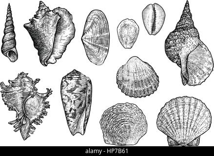 Seashell collection, engraving, illustration, drawing collection - Stock Photo