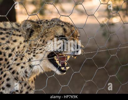 Captive cheetah behind fence, Keetmanshoop, Namibia - Stock Photo