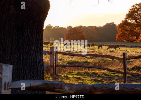 Herd of fallow deer in Richmond Park, London - Stock Photo