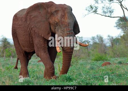 African bush elephant (Loxodonta africana), bull, covered with mud, foraging, Kruger National Park, South Africa, - Stock Photo